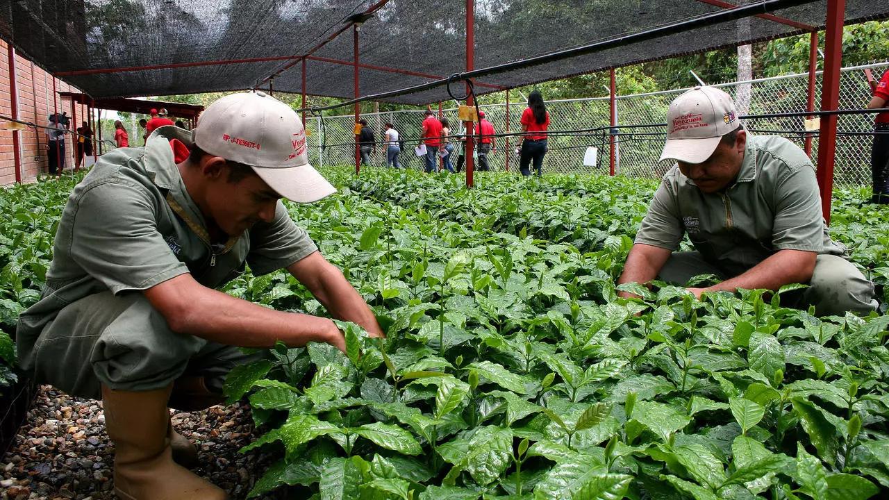 La producción de café en Venezuela retrocedió más de 100 años